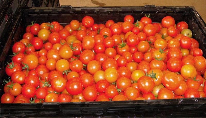 877 Tomatoes