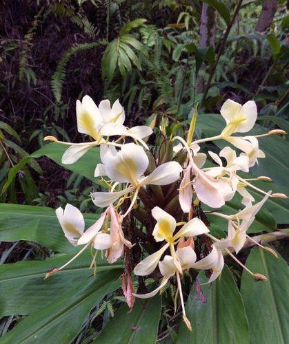 Hawaiian ginger season 003