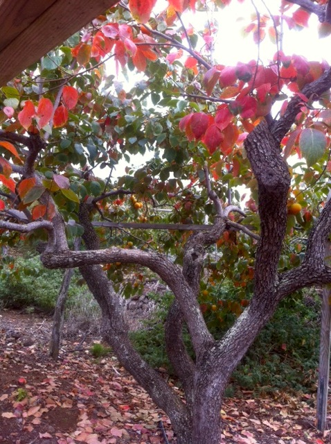 90-yr-old persimmon tree