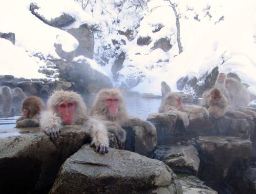 Macaques at Jigokudani onsen